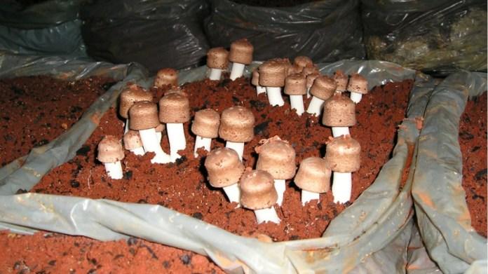 cogumelo-do-sol