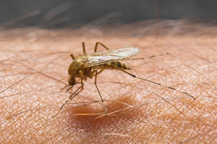 mosquito elefantiase
