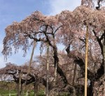 三春の滝桜へのアクセスと駐車場は?開花予想は?ライブカメラは?