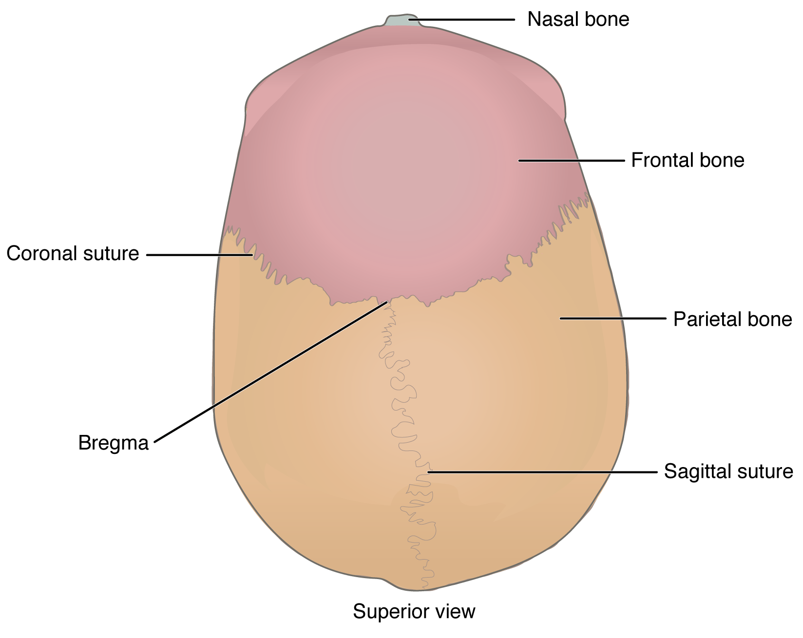 Cranial Floor Labeled