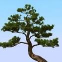 Japon çam ağacı
