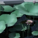 Lotus Leaves Flowers