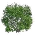 Large Evergreen Shrubs