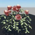 China Rose Bush