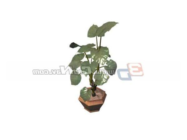 Plant Bonsai Alocasia Macrorrhiza