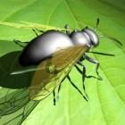 النملة الطائرة