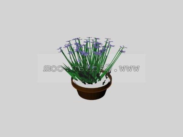 Gypsophila Paniculata Plant