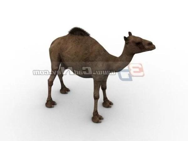 Animal Arabian Camel