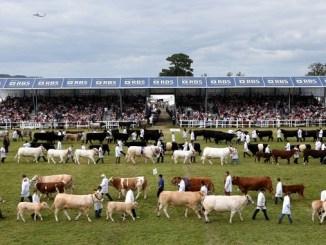 Cows at the Royal Highland Show