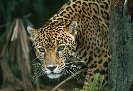 jaguar1_norm