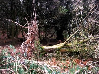 storm damage, Mount Edgcumbe