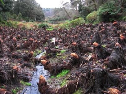 winter gunnera stumps