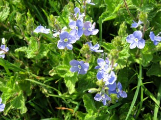 forget-me-nots, Green Valley