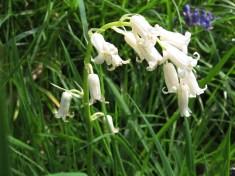 Hyacinthoides non-scripta - white form