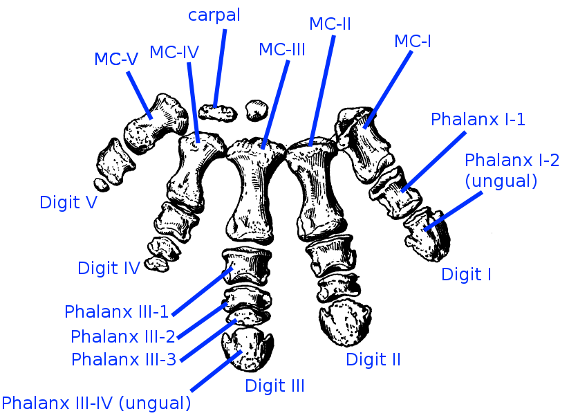 Manus of the horned dinosaur Centrosaurus (modified after Brown 1917)