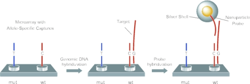 Fragmented unamplified genomic DNA and gold nanoparticl ...