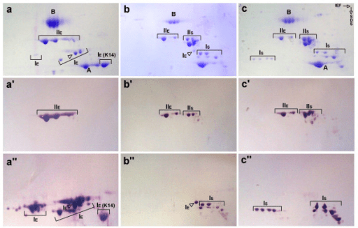 Biochemical identification of K14 in sturgeon. 2D-PAGE ...