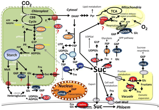 Central metabolism in photosynthetic cells. Carbon is c ...