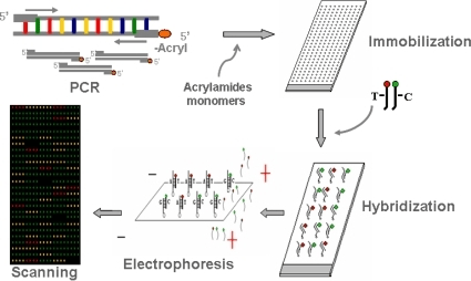 Schematic outline of gel-immobilization microarray appr ...