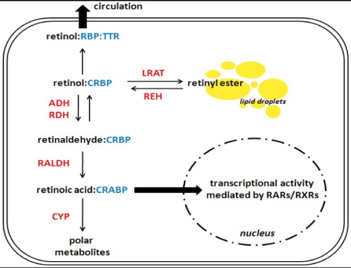 A simplified overview of retinoid metabolism in a hypot ...