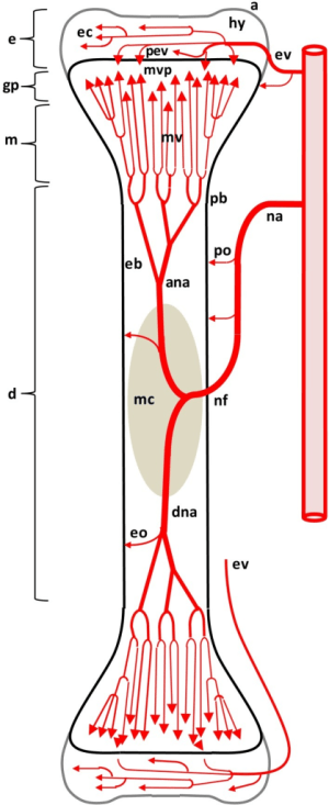 Diagram depicting the arterial supply to a growing leg | Openi