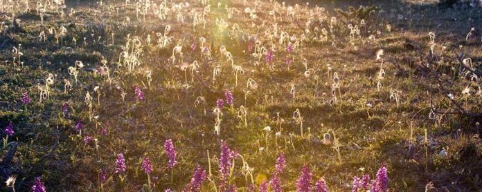 orchidee piante tra scienza e mito