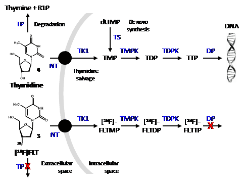 Figure 1. Cellular uptake and fate of thymidine and [18F]FLT.
