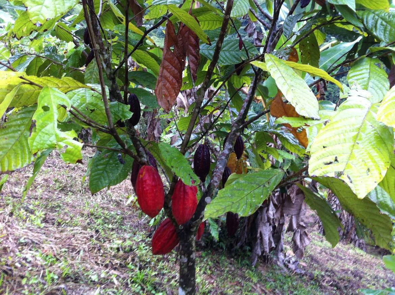 Cacao Puro del Choco