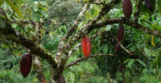 Cacao Puro del Choco: Nuestro Historia de Chocolate