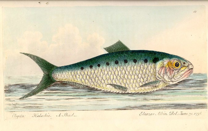 Heringe, aus: North, Roger (1835) Treatise on Fish and Fish-Ponds, London 1835