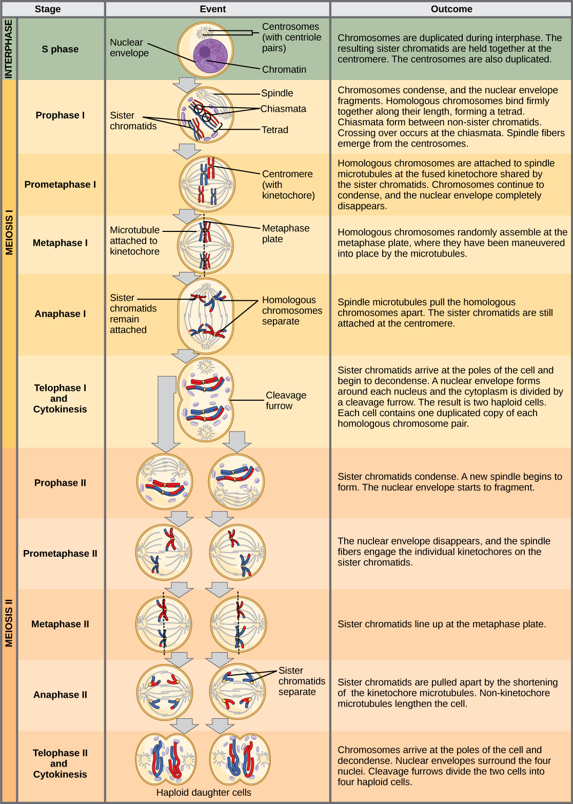 Meiosis Ii Principles Of Biology Biology 211 212 And 213