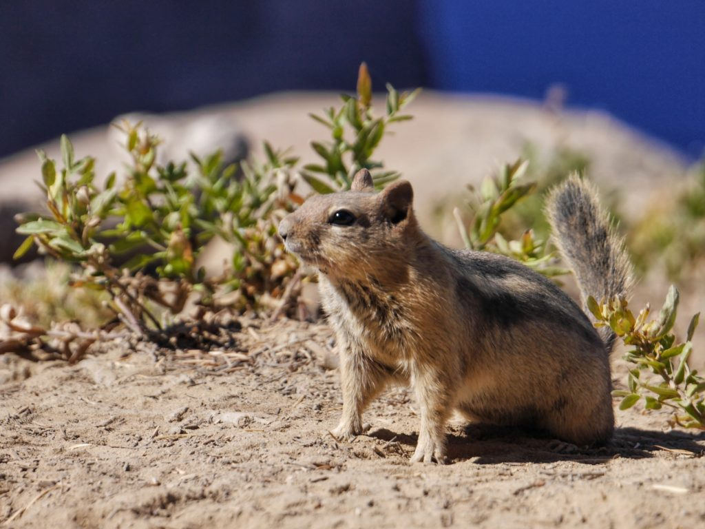 Ground Squirrel at Crater Lake National Park