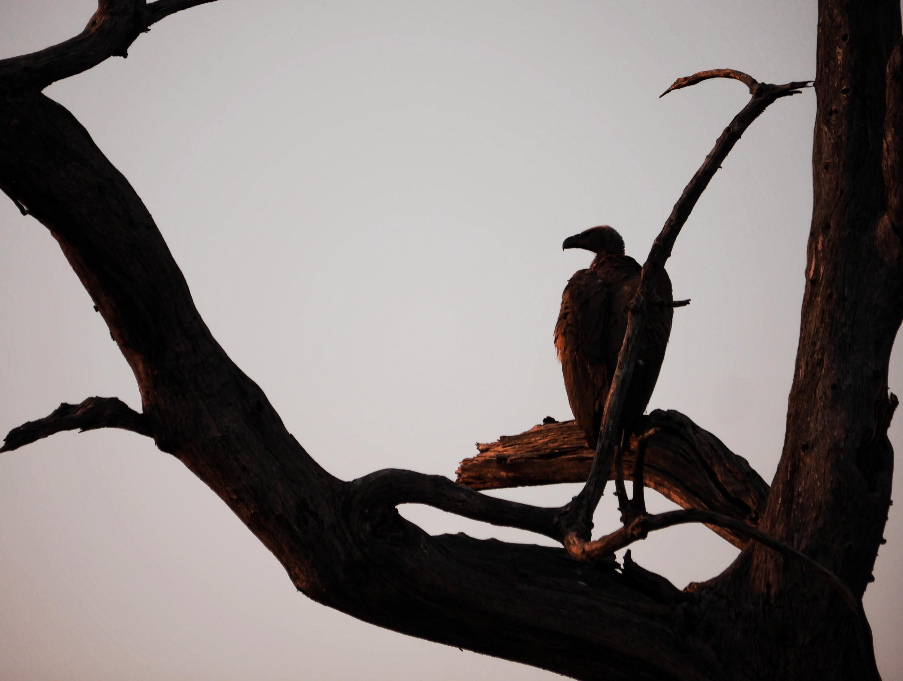 Vulture in Silhouette