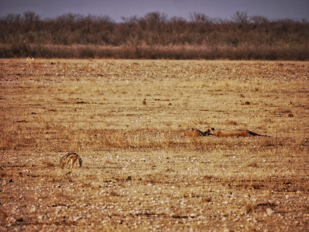 Jackal, lions, and springbok