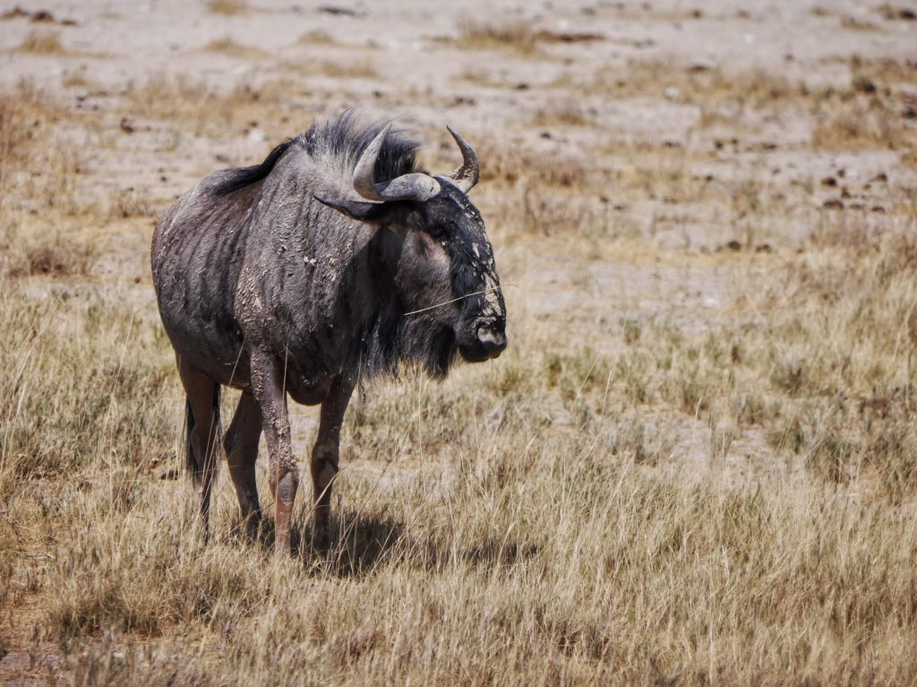 Gnu by the Salt Pan