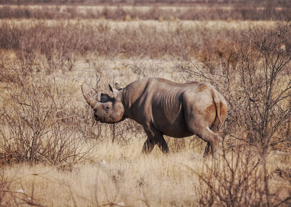 Rhino After Crossing the Road