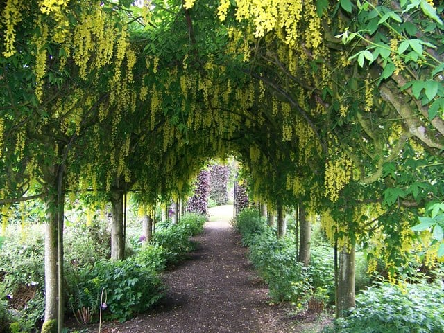 The laburnum arch. Pic credit: Elliott Simpson.