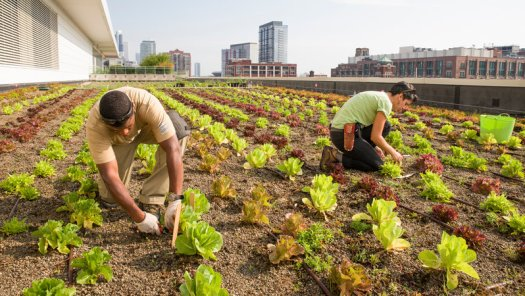 Image of a vegetable field where two people are working on it