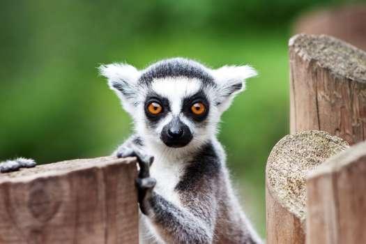 Lemur sitting near a wood