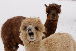 Llama Shouting