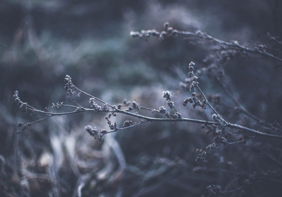 Winter Buds with Frost