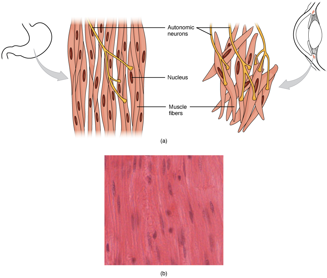 10 8 Smooth Muscle Anatomy And Physiology