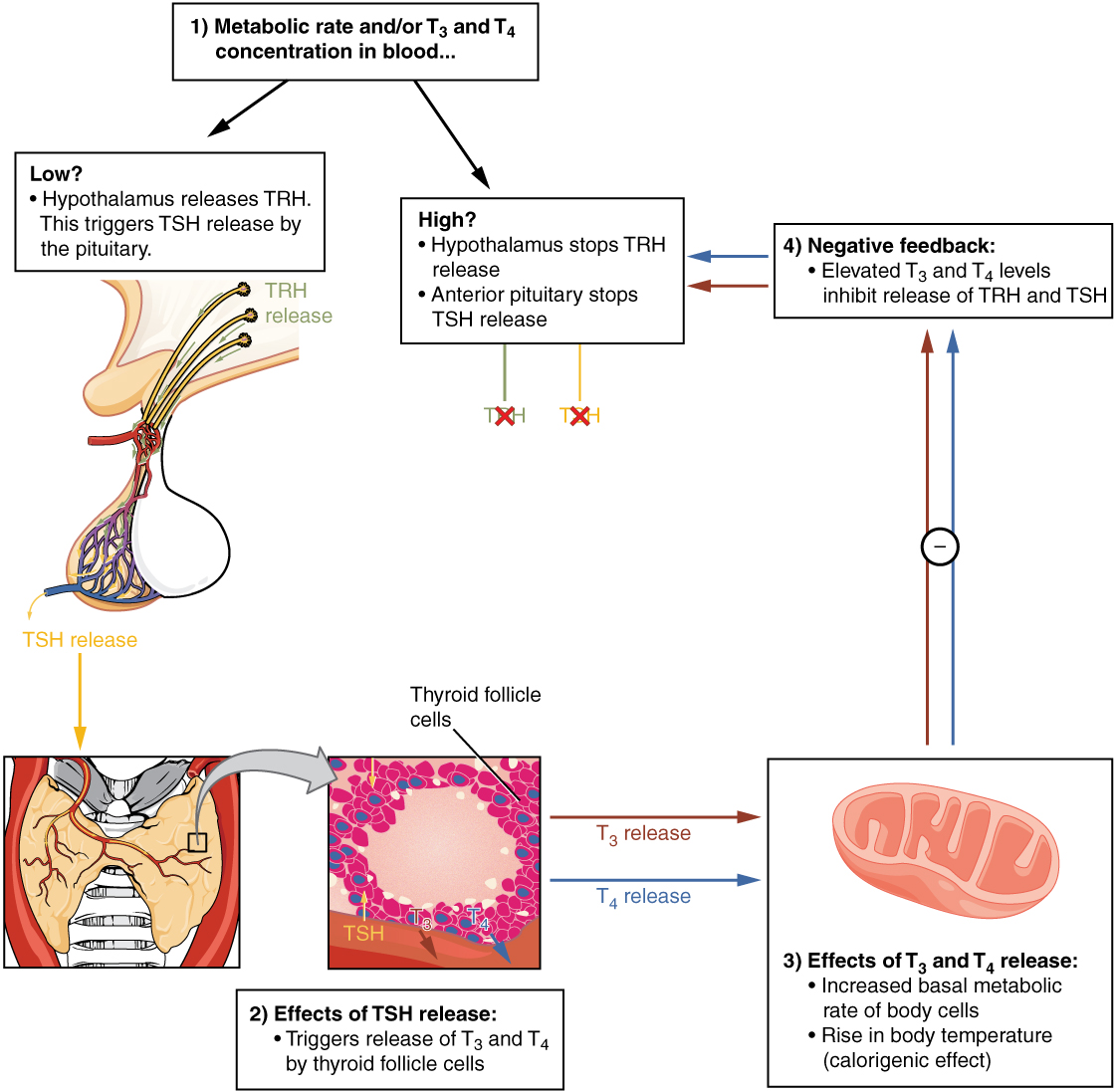 17 4 The Thyroid Gland Anatomy And Physiology
