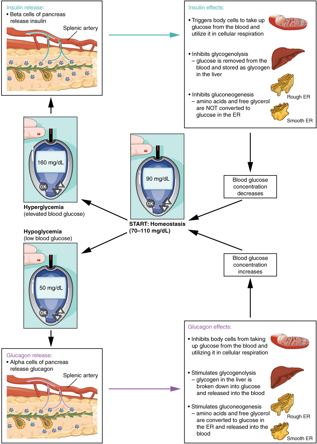 17 9 The Endocrine Pancreas Anatomy And Physiology