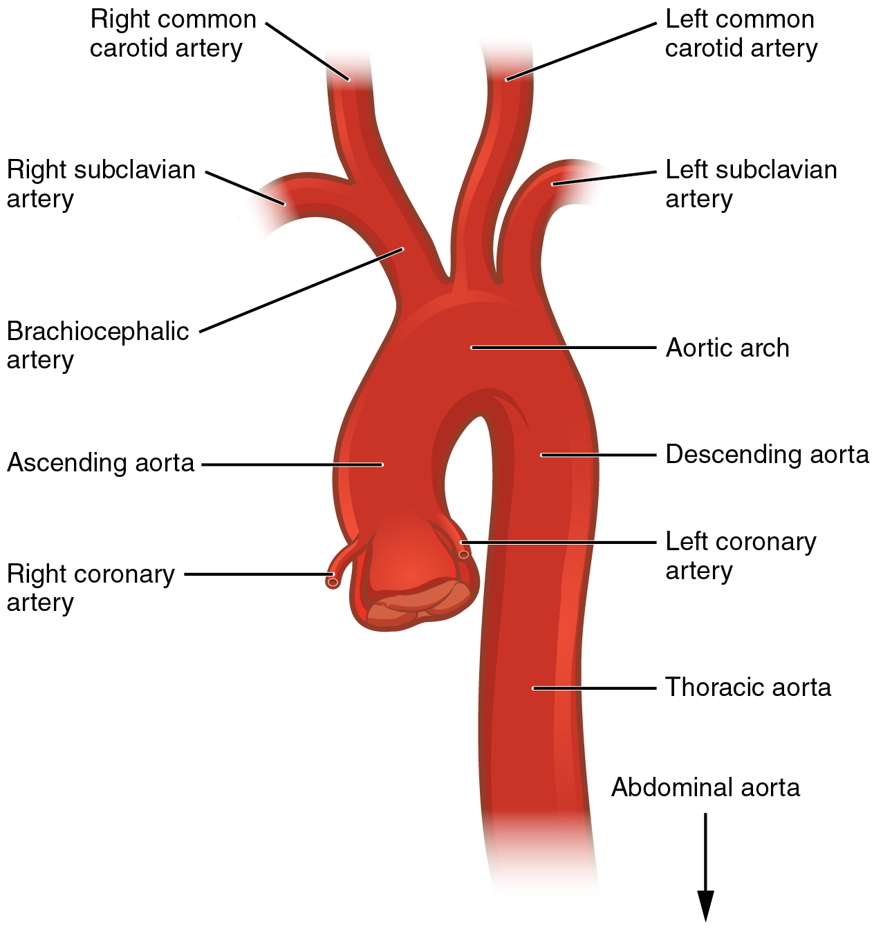 20 5 Circulatory Pathways Anatomy And Physiology