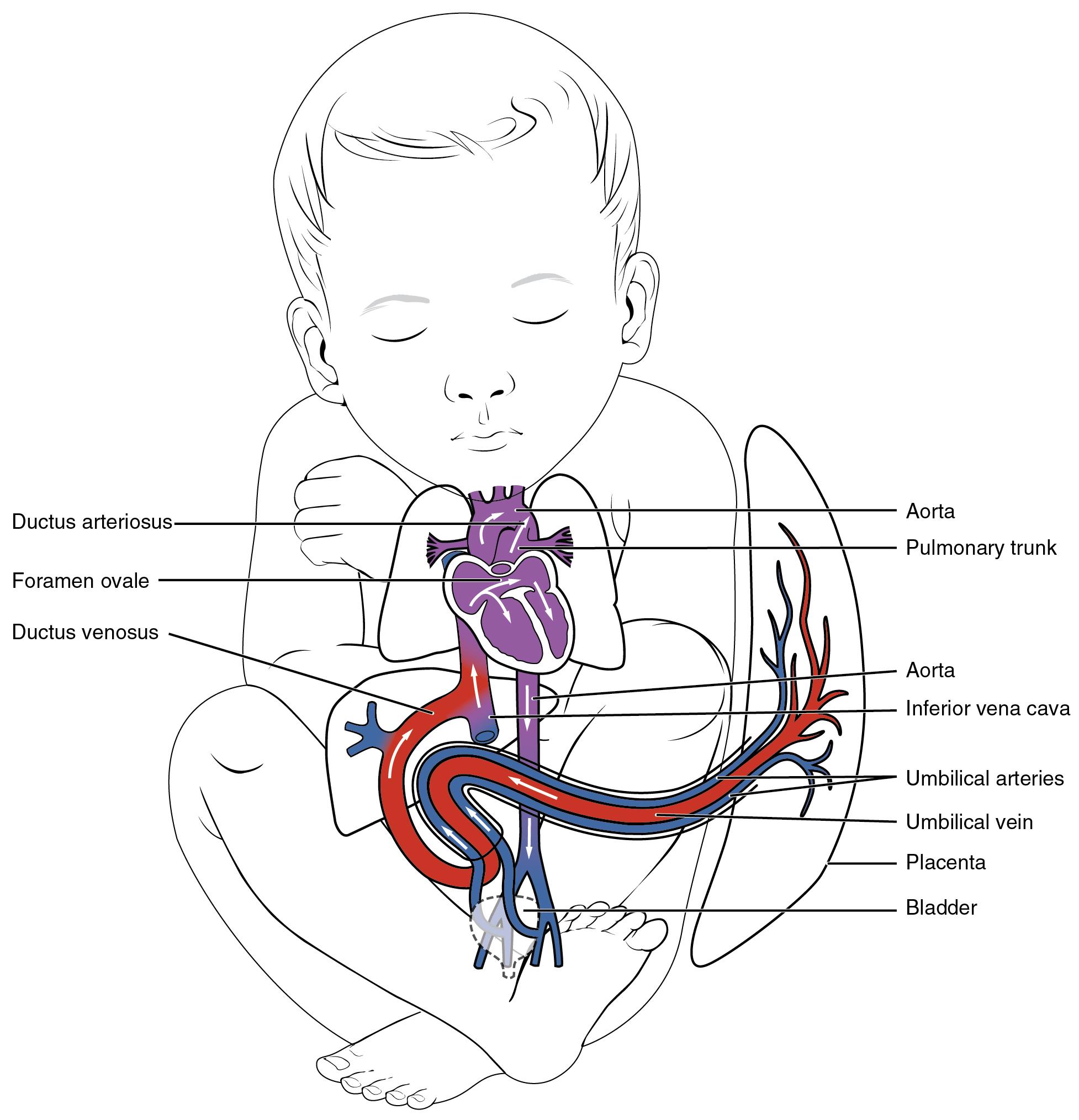 20 6 Development Of Blood Vessels And Fetal Circulation