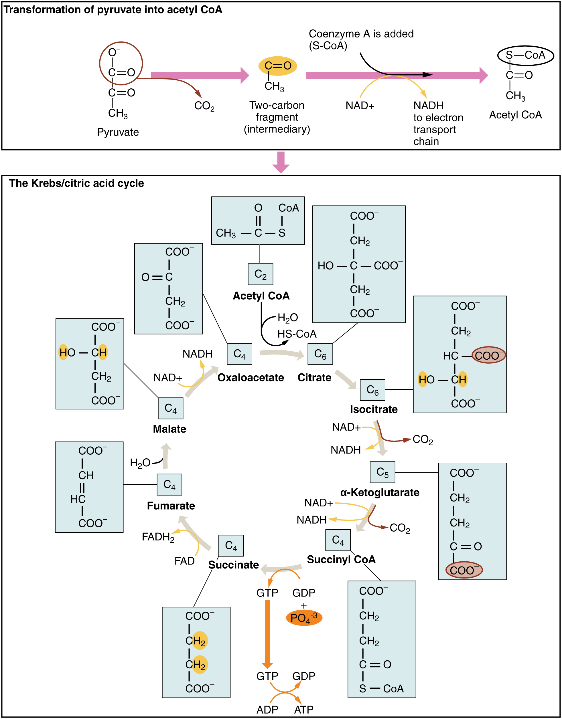 24 2 Carbohydrate Metabolism Anatomy And Physiology