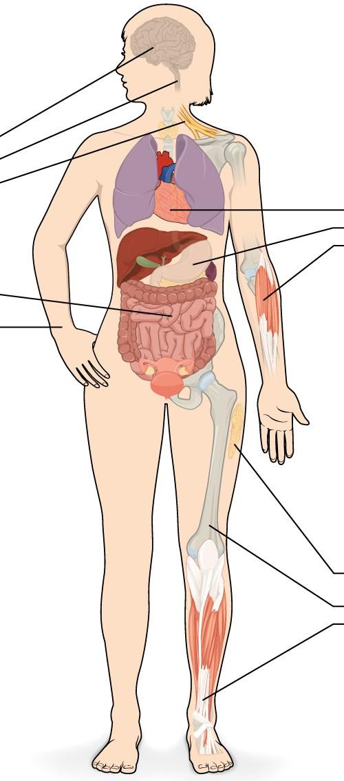 Este diagrama muestra la silueta de una hembra rodeado por cuatro micrografías de tejido. Cada micrografía tiene flechas que apuntan a los órganos donde se encuentra ese tejido. La micrografía superior izquierda muestra tejido nervioso que es de color blanquecino con varias neuronas grandes, púrpura, de forma irregular integrado a lo largo. El tejido nervioso se encuentra en el cerebro, la médula espinal y los nervios. La micrografía superior derecha muestra el tejido muscular que es de color rojo con células alargadas y prominentes, núcleos de color púrpura. El músculo cardíaco se encuentra en el corazón. El músculo liso se encuentra en órganos internos musculares, tales como el estómago. El músculo esquelético se encuentra en partes que se mueven voluntariamente, tales como los brazos. La micrografía inferior izquierda muestra tejido epitelial. Este tejido es de color púrpura con muchas células redondas, de color púrpura con núcleos de color púrpura oscuro. El tejido epitelial se encuentra en el revestimiento de los órganos del tracto GI y otros órganos huecos, tales como el intestino delgado. El tejido epitelial también compone la capa externa de la piel, conocida como la epidermis. Por último, la micrografía inferior derecha muestra el tejido conectivo, que se compone de células y fibras de color púrpura muy empaquetadas de manera suelta. Hay grandes espacios abiertos entre grupos de células y fibras. El tejido conectivo se encuentra en la pierna dentro de la grasa y otros tejidos acolchado blando, así como huesos y tendones.