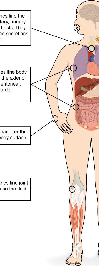 En las ilustraciones se muestra la silueta de una hembra humana desde una vista anterior. Varios órganos internos se ven en su cuello, tórax, abdomen, brazo izquierdo y pierna derecha. Los cuadros de texto señalan y describen las membranas mucosas en varios órganos diferentes. El cuadro más altas apunta a la boca y la tráquea. Se afirma que las membranas mucosas se alinean los sistemas digestivo, respiratorio, urinario y reproductivo. Están recubiertas con las secreciones de las glándulas mucosas. El segundo cuadro de puntos hasta el borde exterior de los pulmones, así como el intestino grueso y afirma que las membranas serosas alinean las cavidades del cuerpo que están cerrados al exterior del cuerpo, incluyendo la peritoneal, pleural y pericárdica. El tercer cuadro apunta a la piel de la mano. Afirma que la membrana cutánea, también conocida como la piel, cubre la superficie del cuerpo. El cuarto cuadro apunta a la rodilla derecha. Se afirma que las membranas sinoviales alinean cavidades articulares y producen el fluido dentro de la articulación.