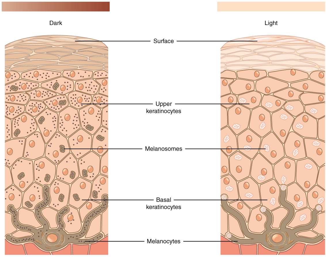 5 1 Layers Of The Skin Anatomy And Physiology